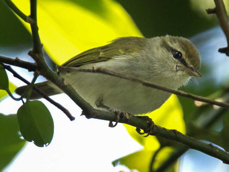 Uganda Woodland-Warbler - Lars Petersson