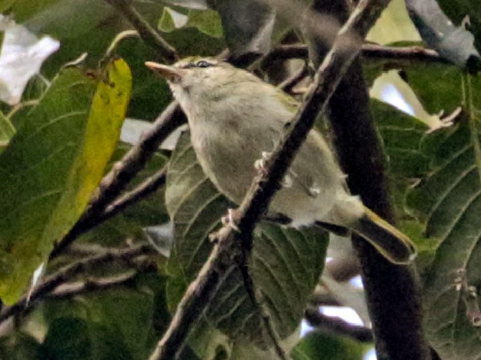 Uganda Woodland-Warbler - Charley Hesse https://www.schoolofbirding.com/