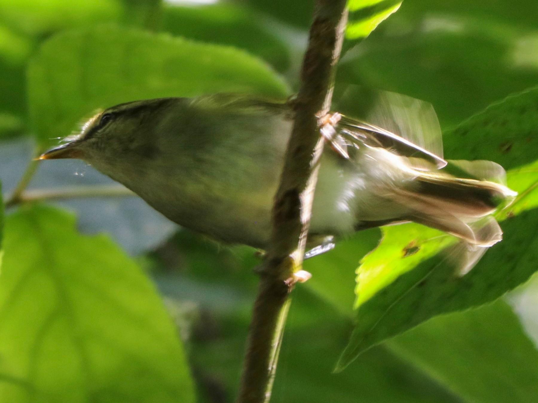 Uganda Woodland-Warbler - David Guarnieri