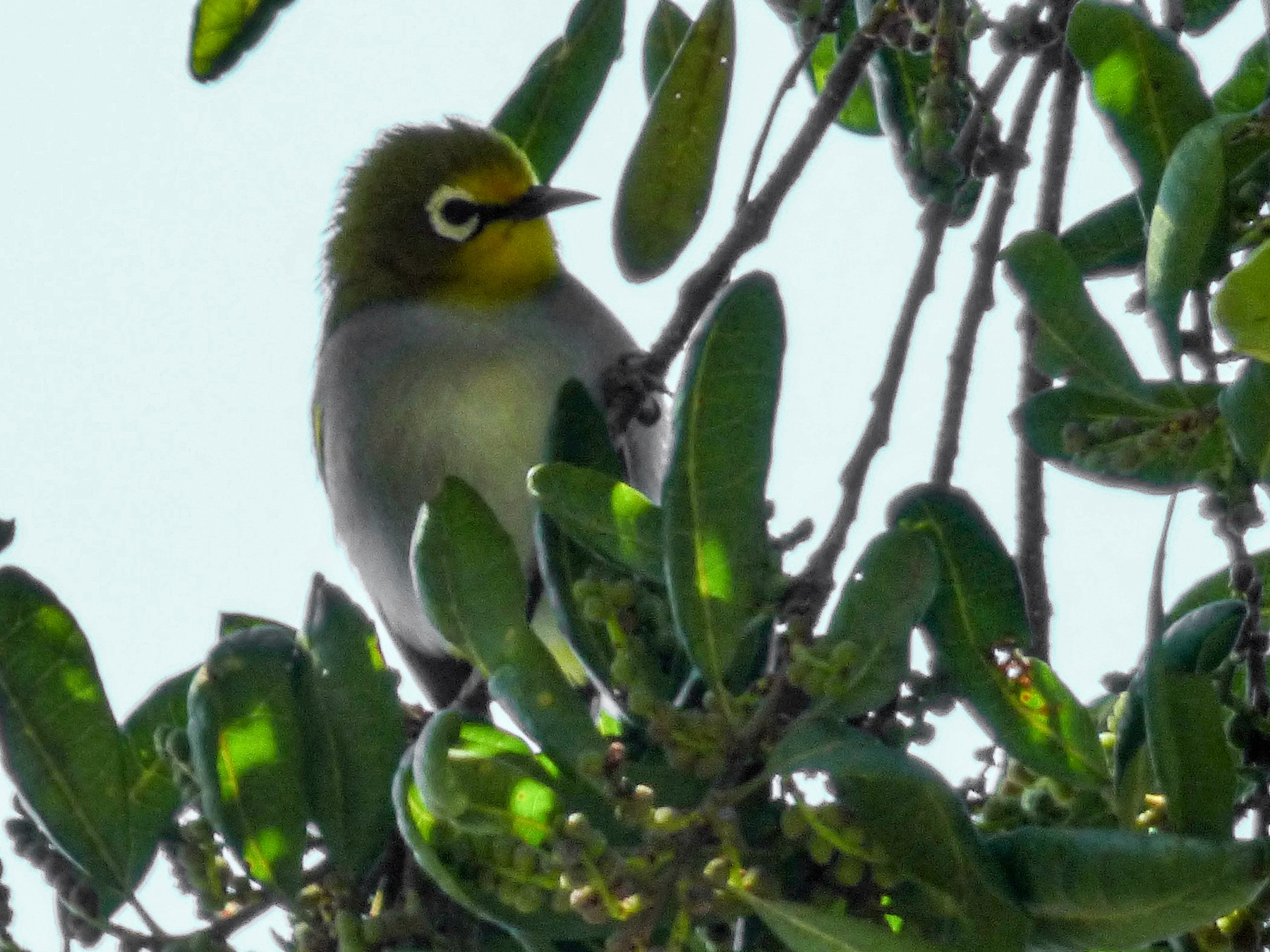 South Pare White-eye - Barry Reed