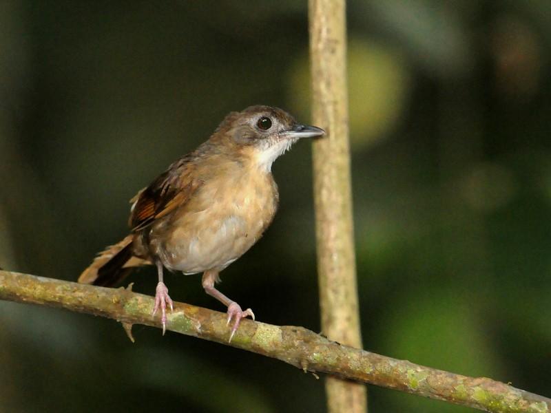 Puvel's Illadopsis - Kris Blachowiak