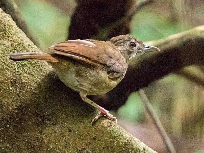 Puvel's Illadopsis - Raphael Lebrun