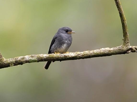 Yellow-footed Flycatcher - Kris Blachowiak