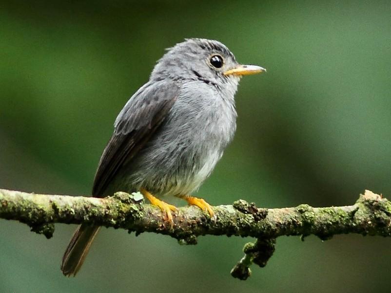 Yellow-footed Flycatcher - Markus Lilje