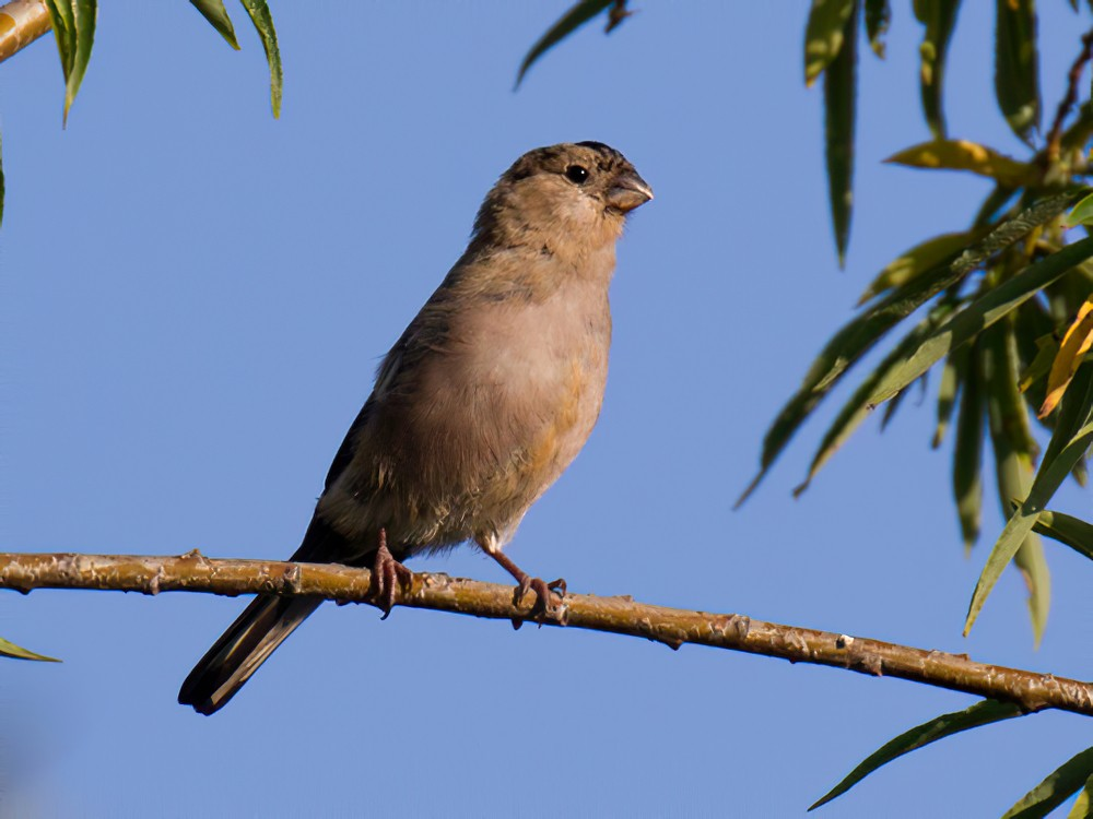 Eurasian Bullfinch - Ric Else