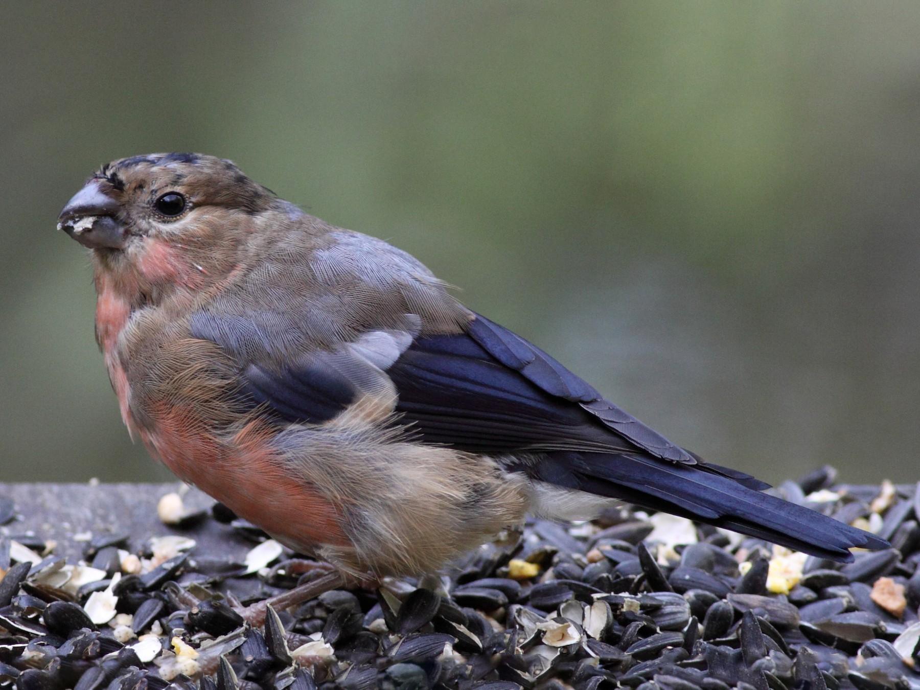 Eurasian Bullfinch - AlDeb Casanova