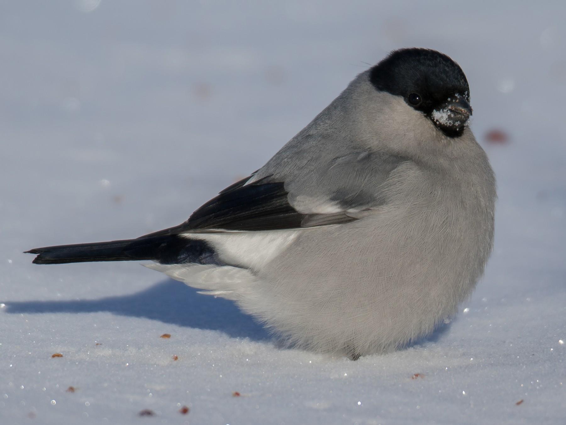 Eurasian Bullfinch - Purevsuren Tsolmonjav