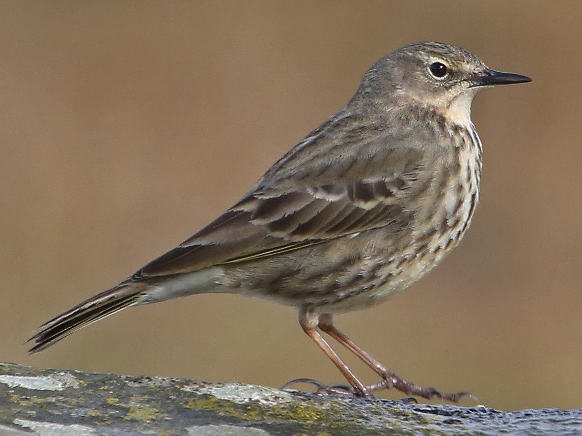 Rock Pipit - Paul Chapman