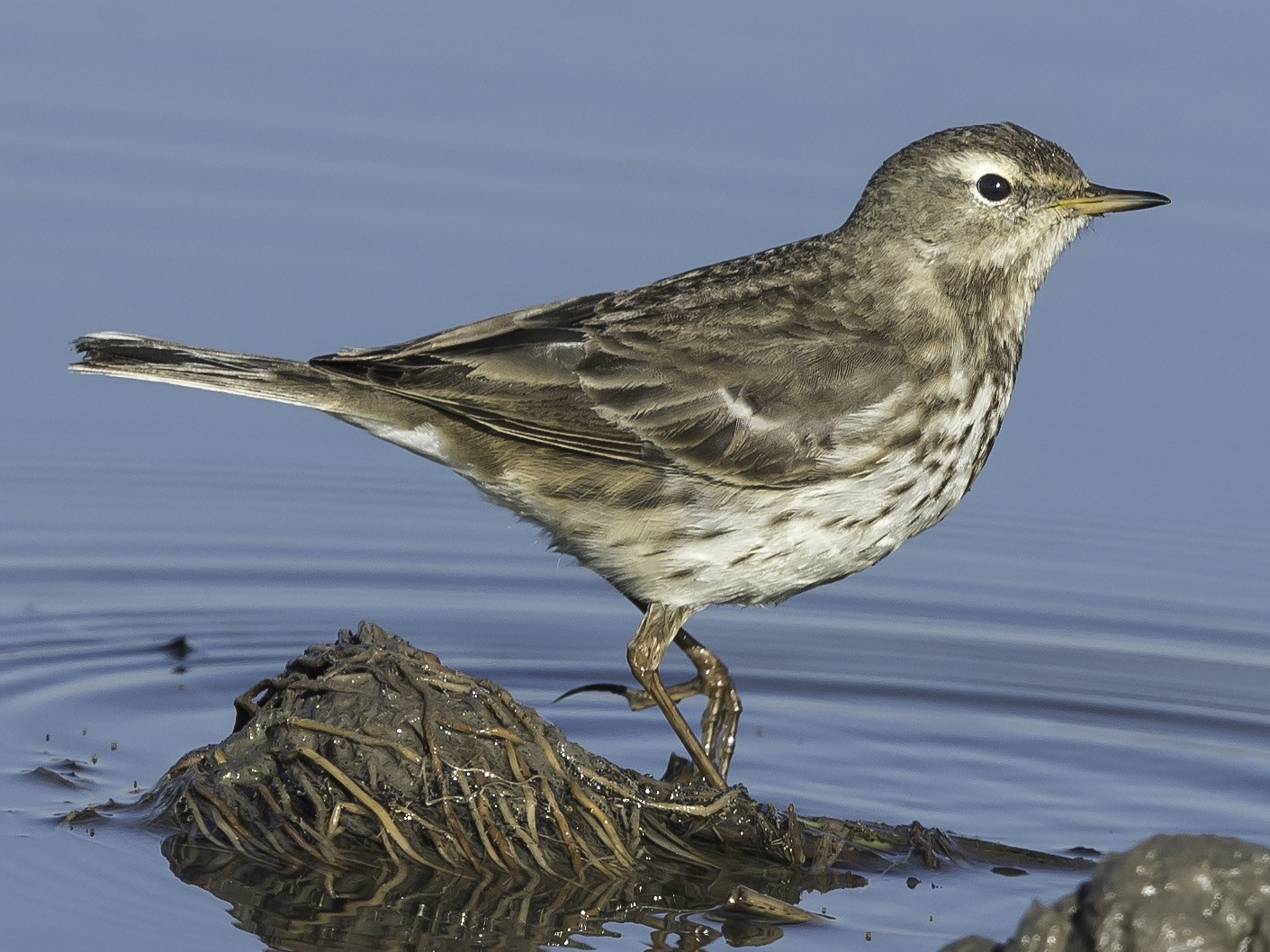 Water Pipit - Rogério Rodrigues