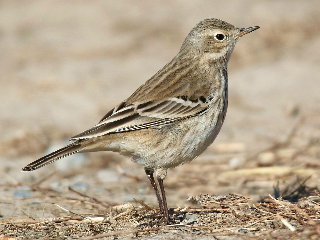 Water Pipit - 茶 茶丸