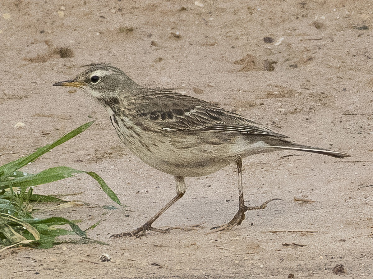 Water Pipit - Ed Stubbs