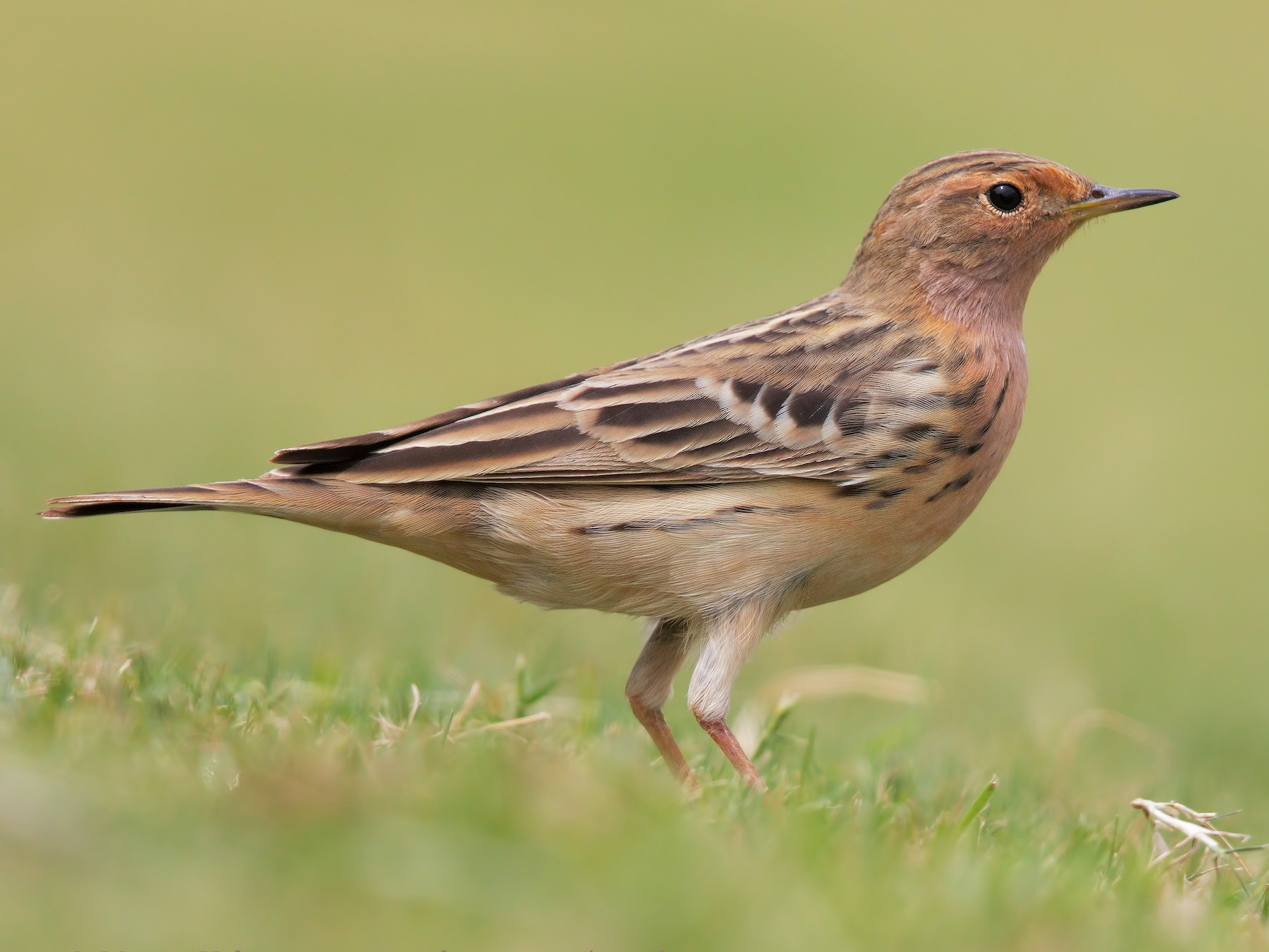Red-throated Pipit - Marco Valentini