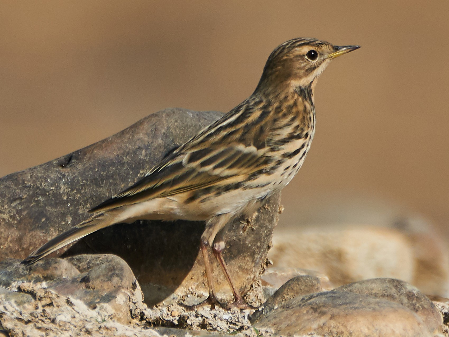 Red-throated Pipit - Miguel Rouco