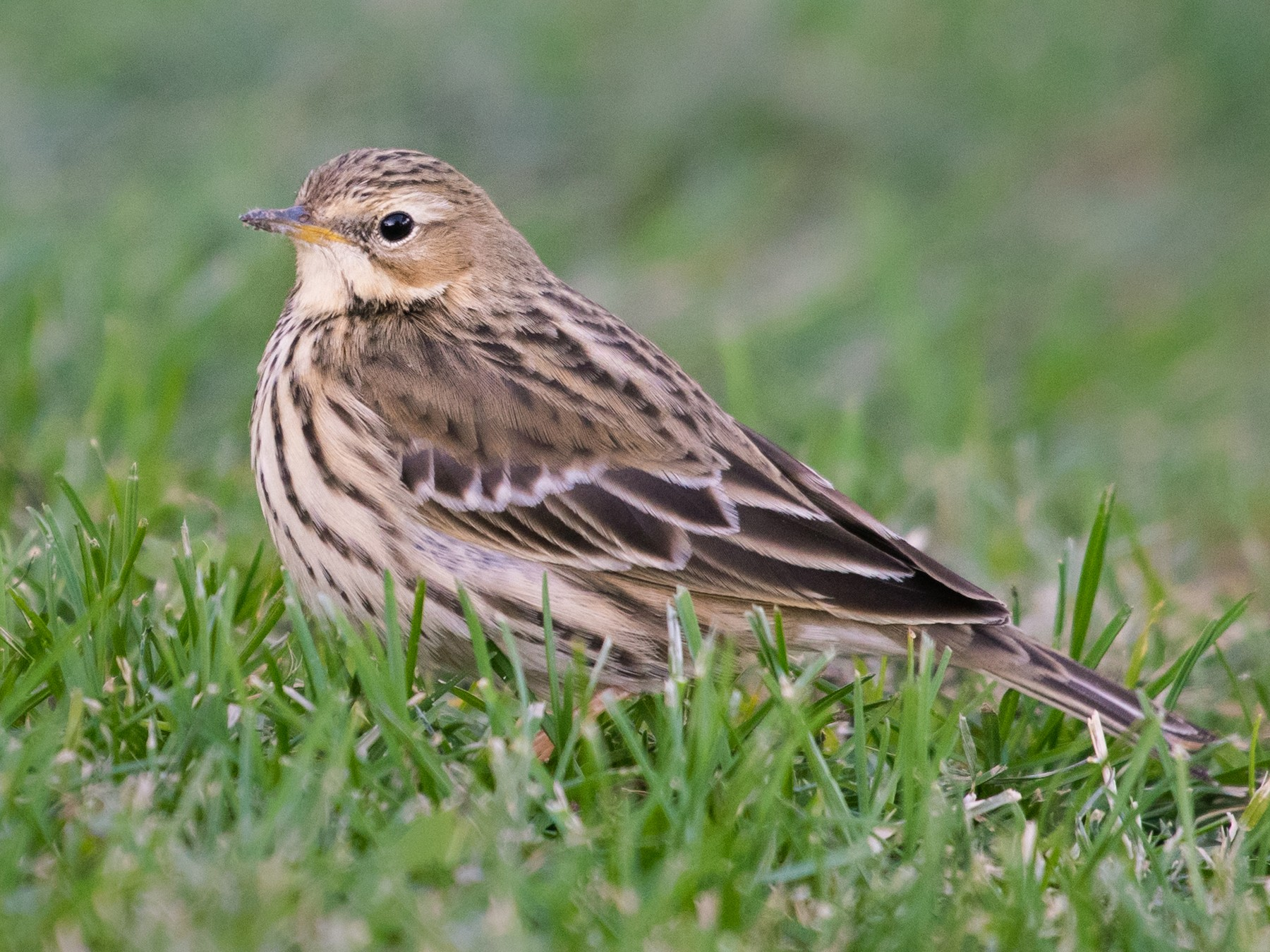 Red-throated Pipit - Adam Jackson