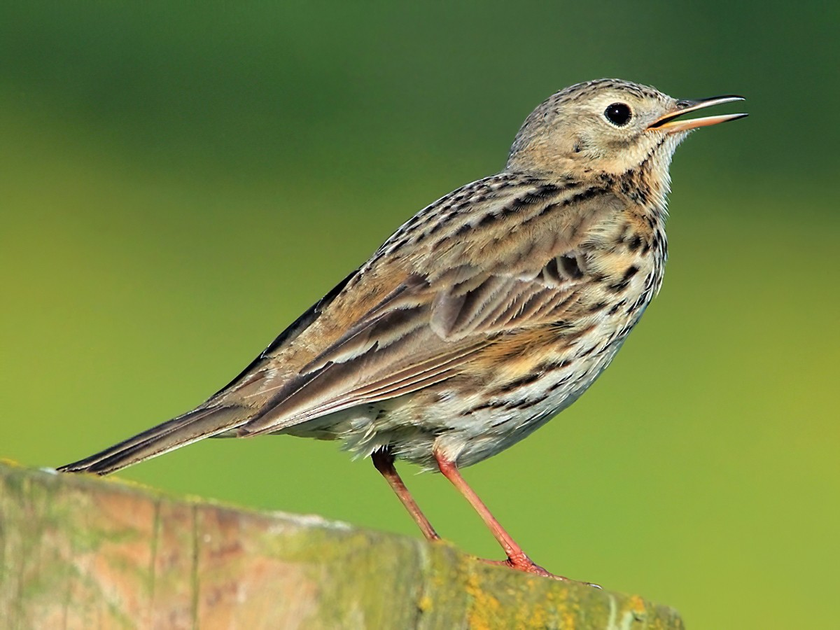 Meadow Pipit - Anne Carrington-Cotton