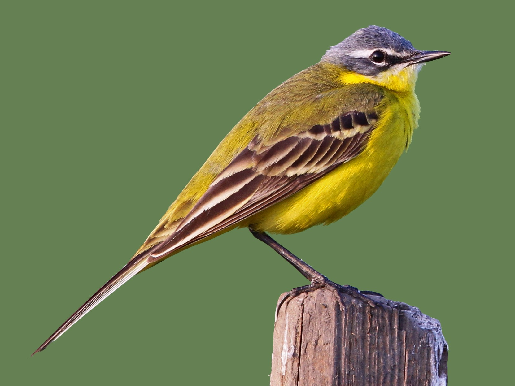 Western Yellow Wagtail - Christoph Moning