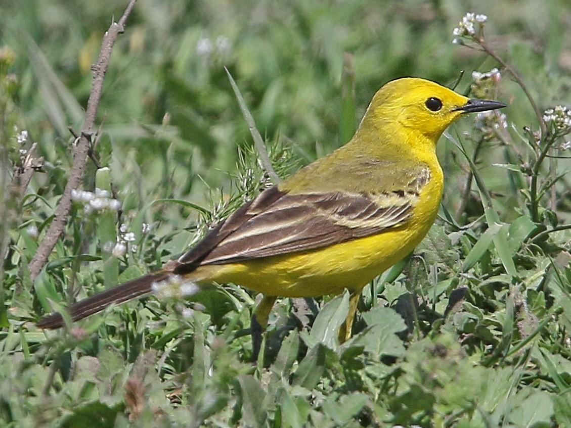 Western Yellow Wagtail - Christoph Moning