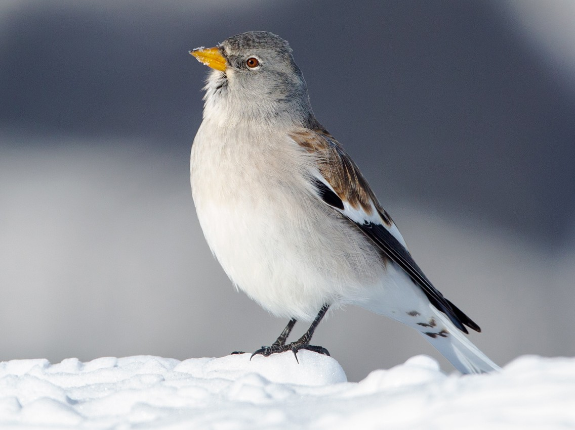 White-winged Snowfinch - Andy Butler