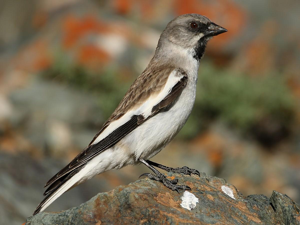 White-winged Snowfinch - Pavel Parkhaev