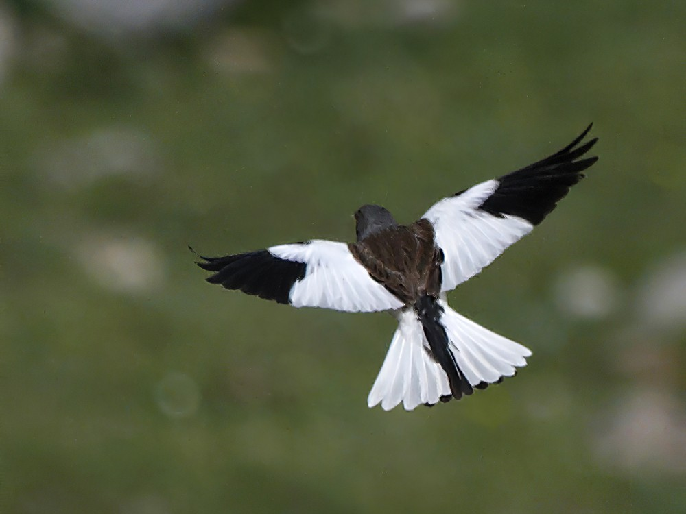 White-winged Snowfinch - Miguel Rouco