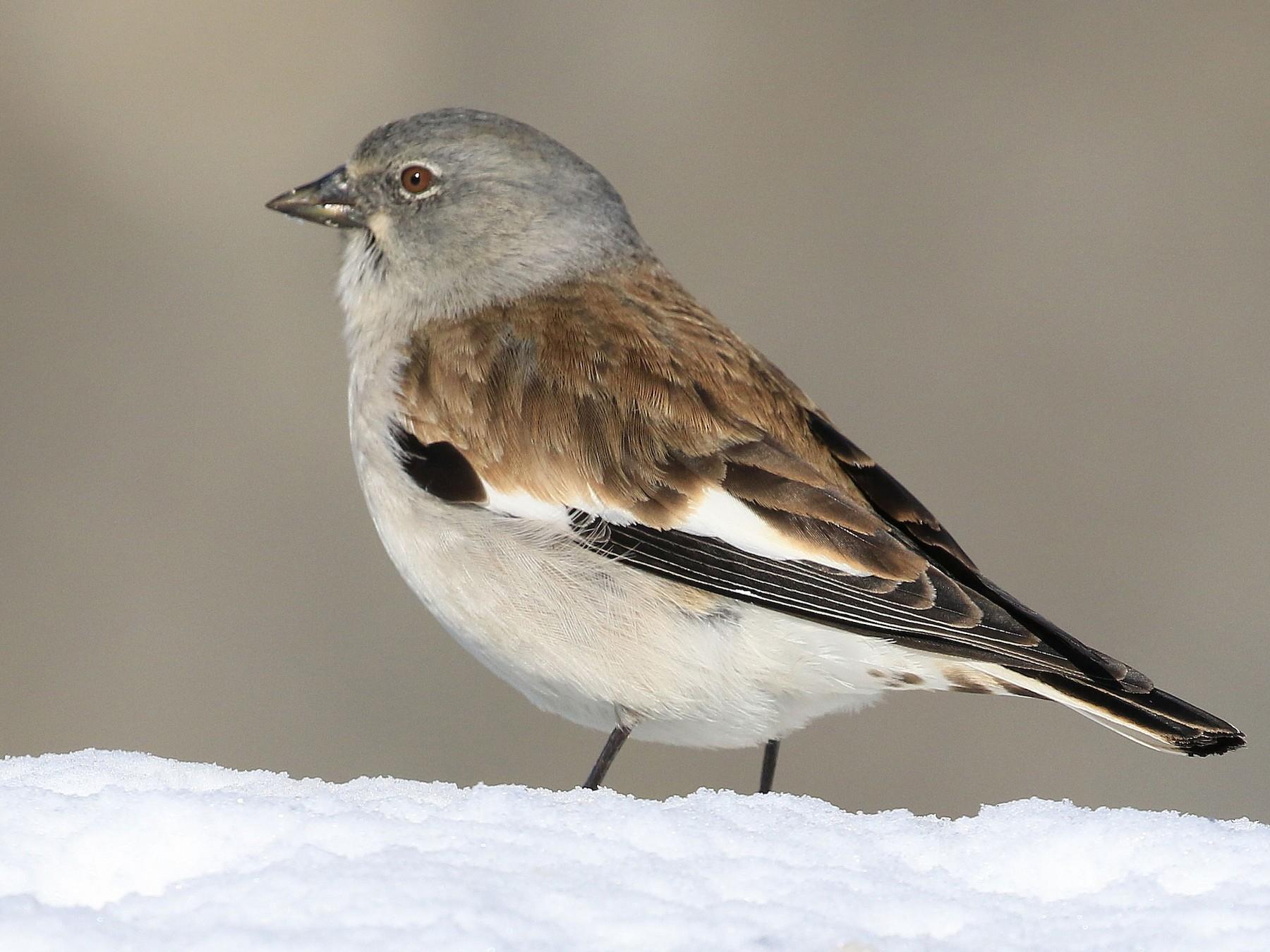 White-winged Snowfinch - Patrick MONNEY