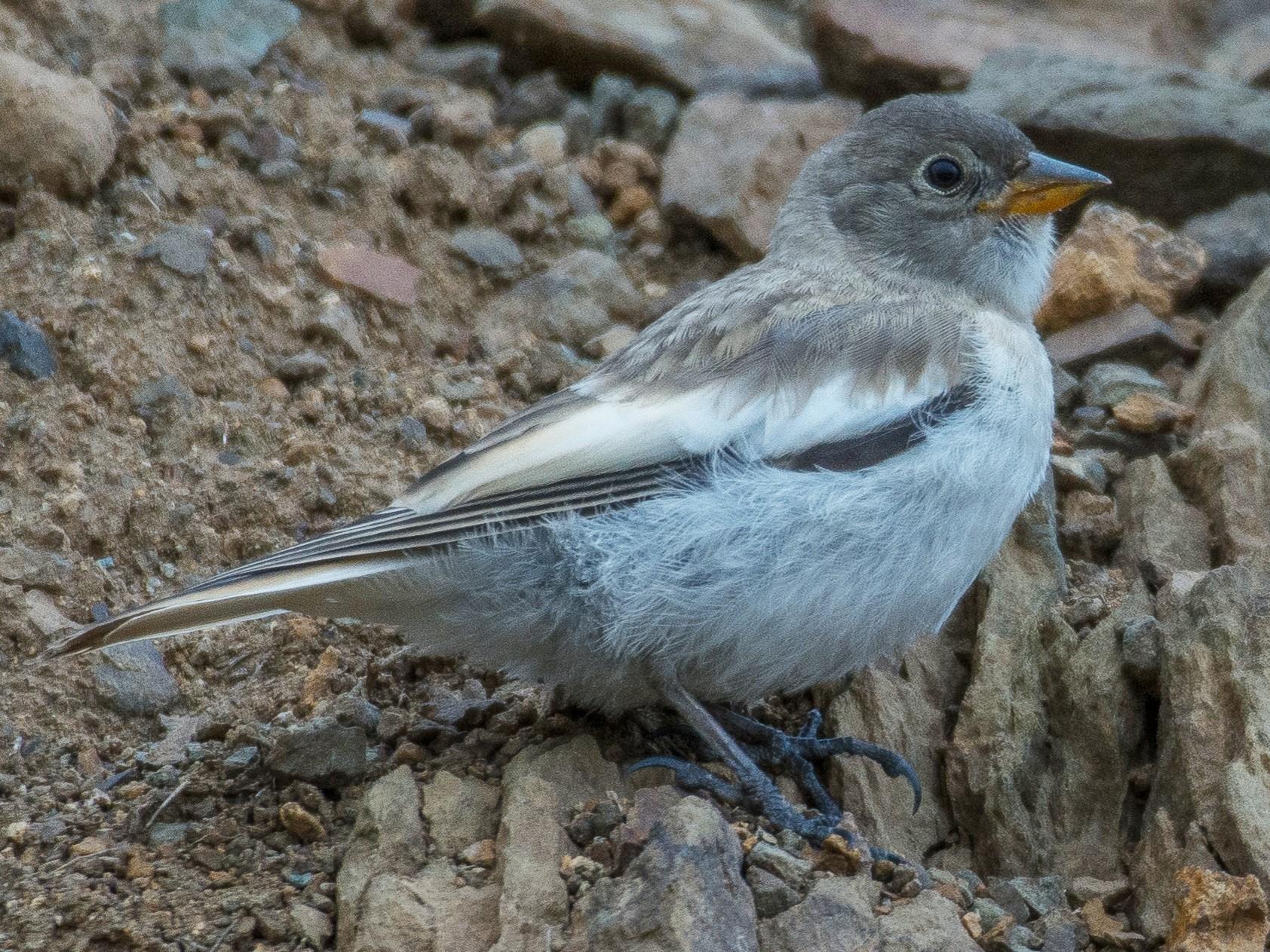 White-winged Snowfinch - Huseyin Keles