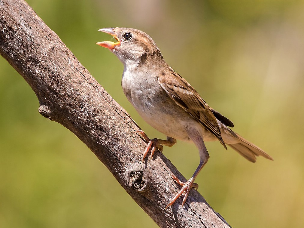 Italian Sparrow - Ciro De Simone