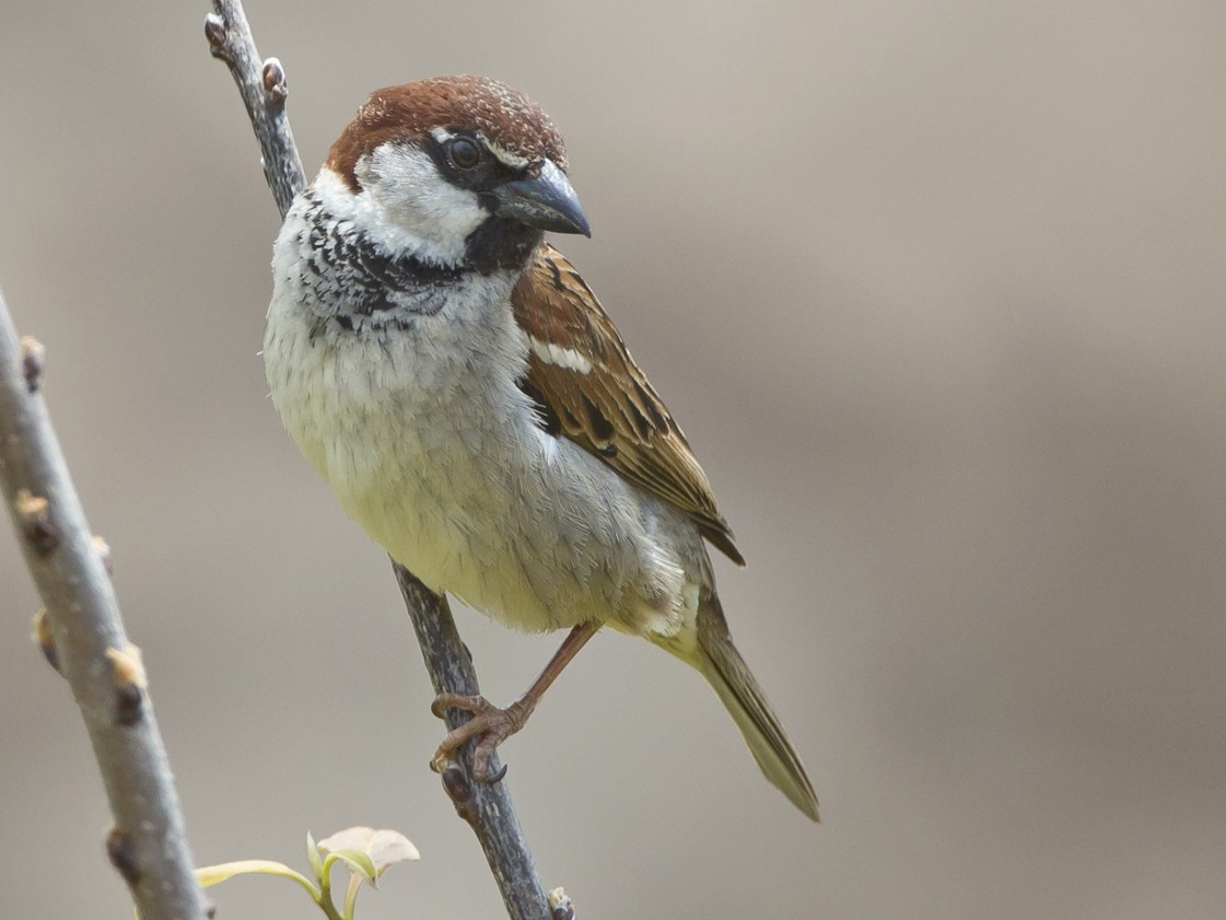 Italian Sparrow - Marco Valentini