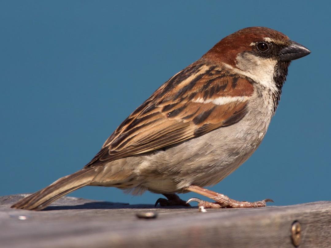 Italian Sparrow - Lars Petersson
