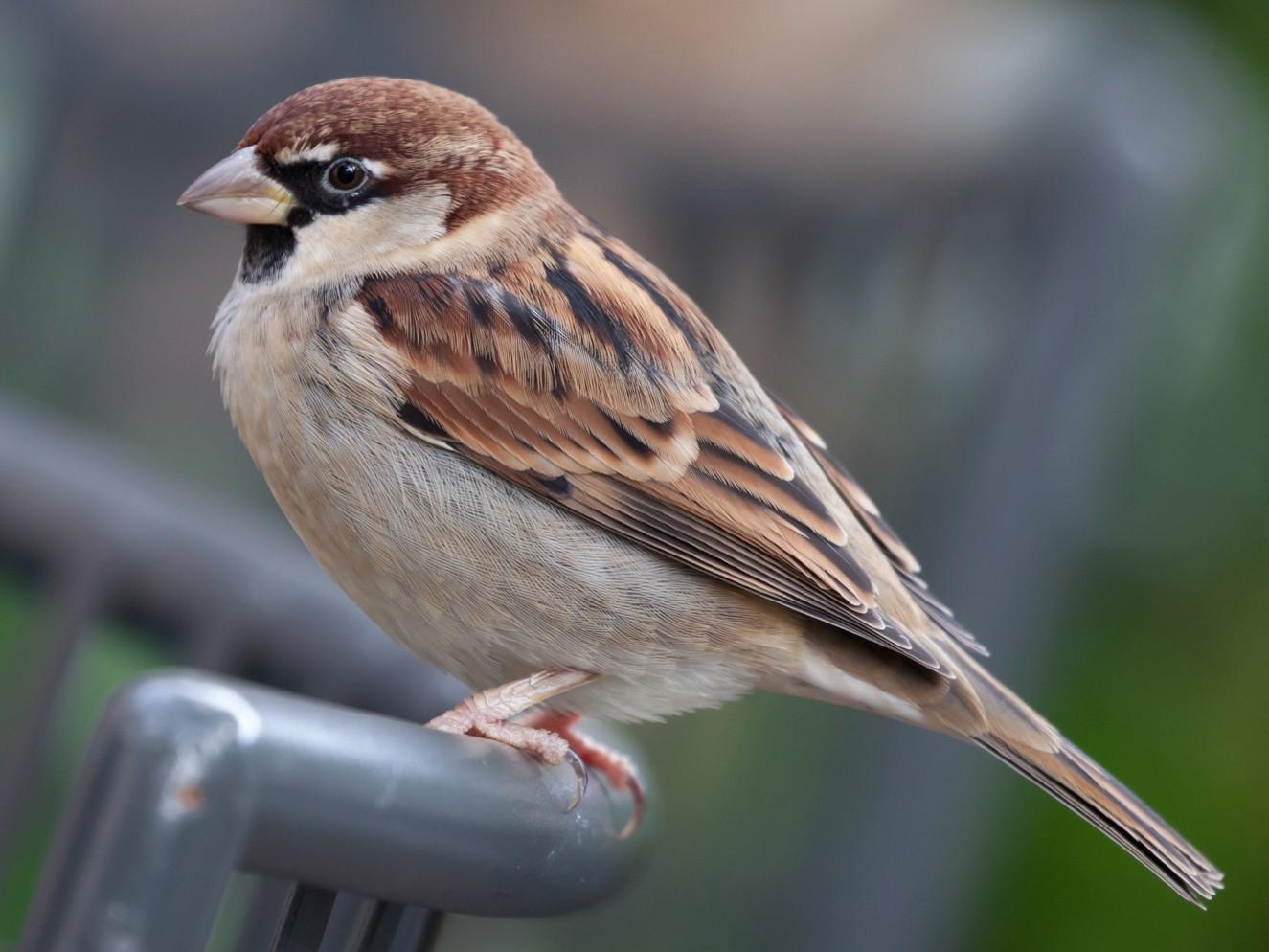 Italian Sparrow - Lutz Duerselen
