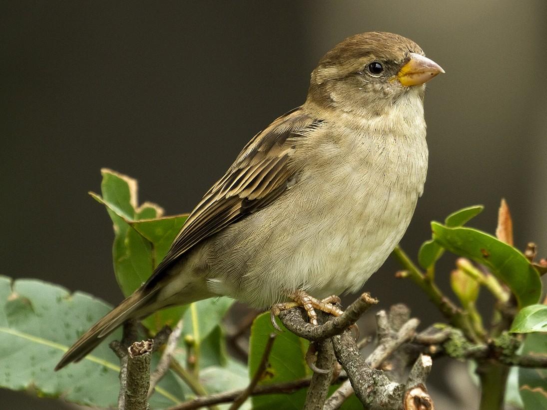 Italian Sparrow - Henrik Bringsøe