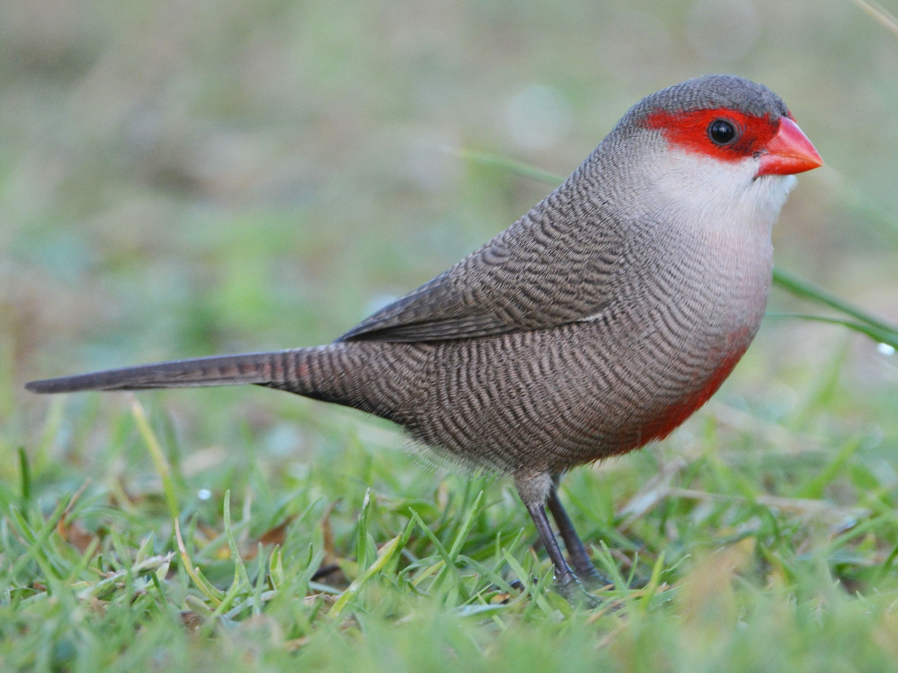 Common Waxbill - Yuval Kariv