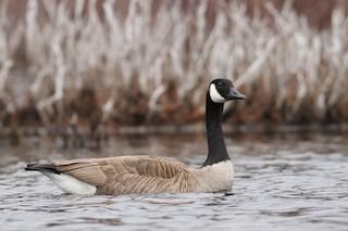 Canada Goose, ML25786401