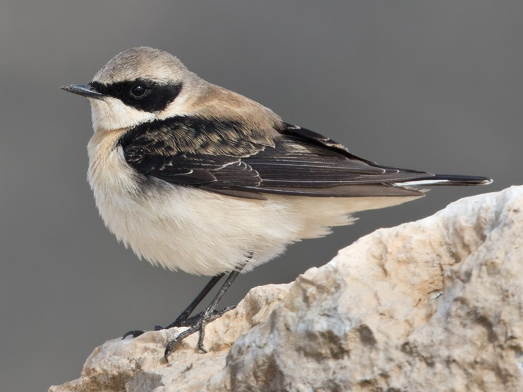 Black-eared Wheatear - Lars Petersson