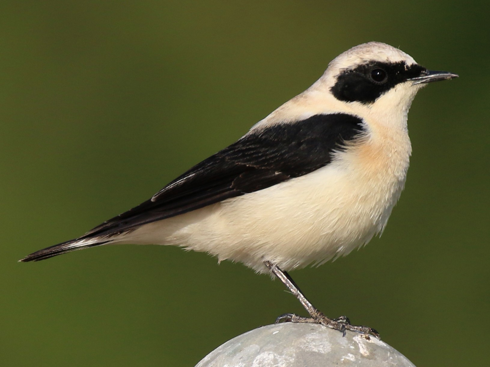 Black-eared Wheatear - Oscar Campbell