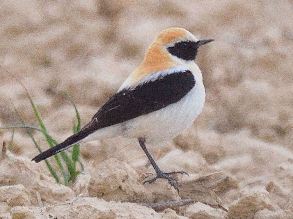 Black-eared Wheatear - Lander Zurikarai