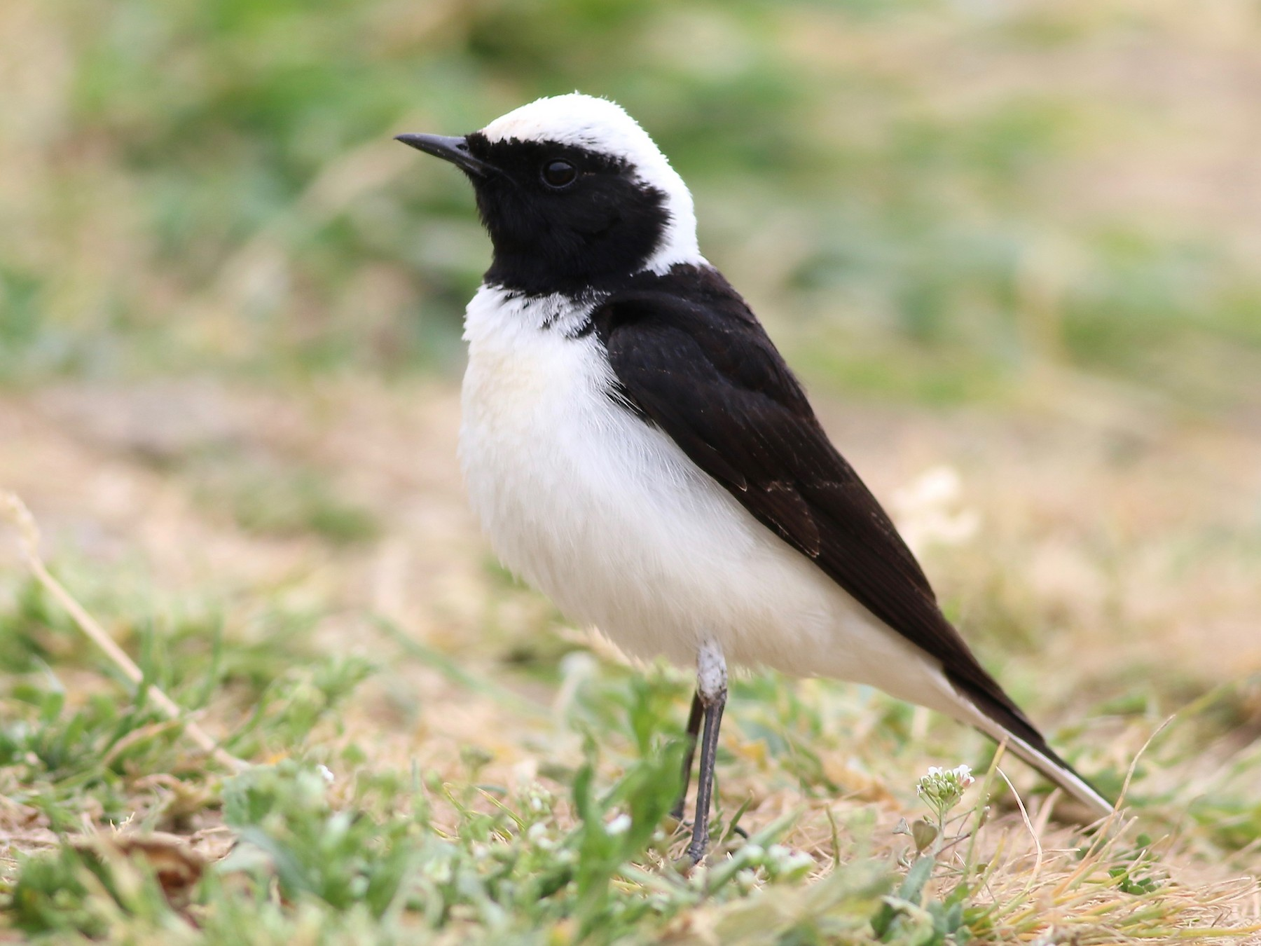 Black-eared Wheatear - Jakub Macháň