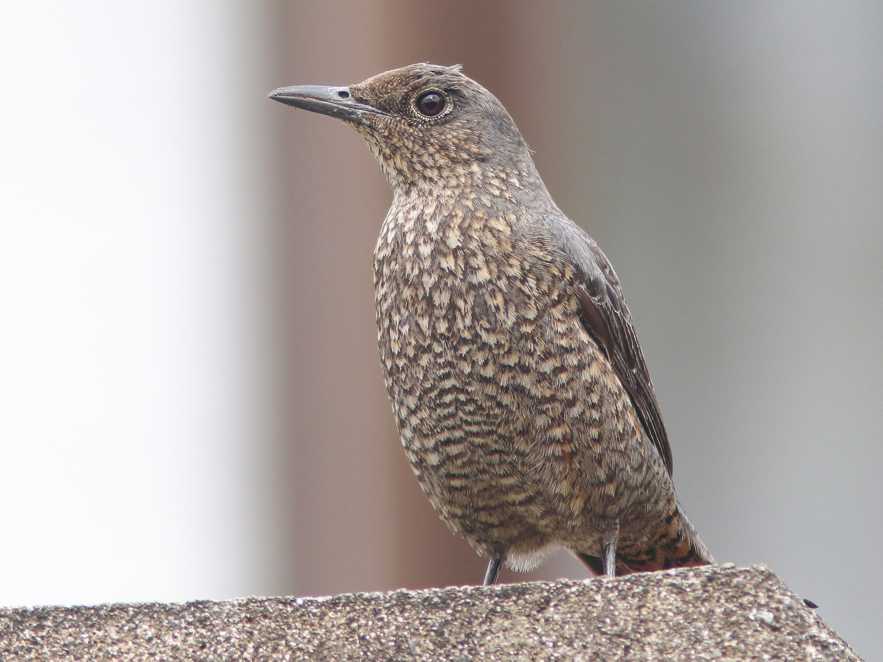 Blue Rock-Thrush - William Price
