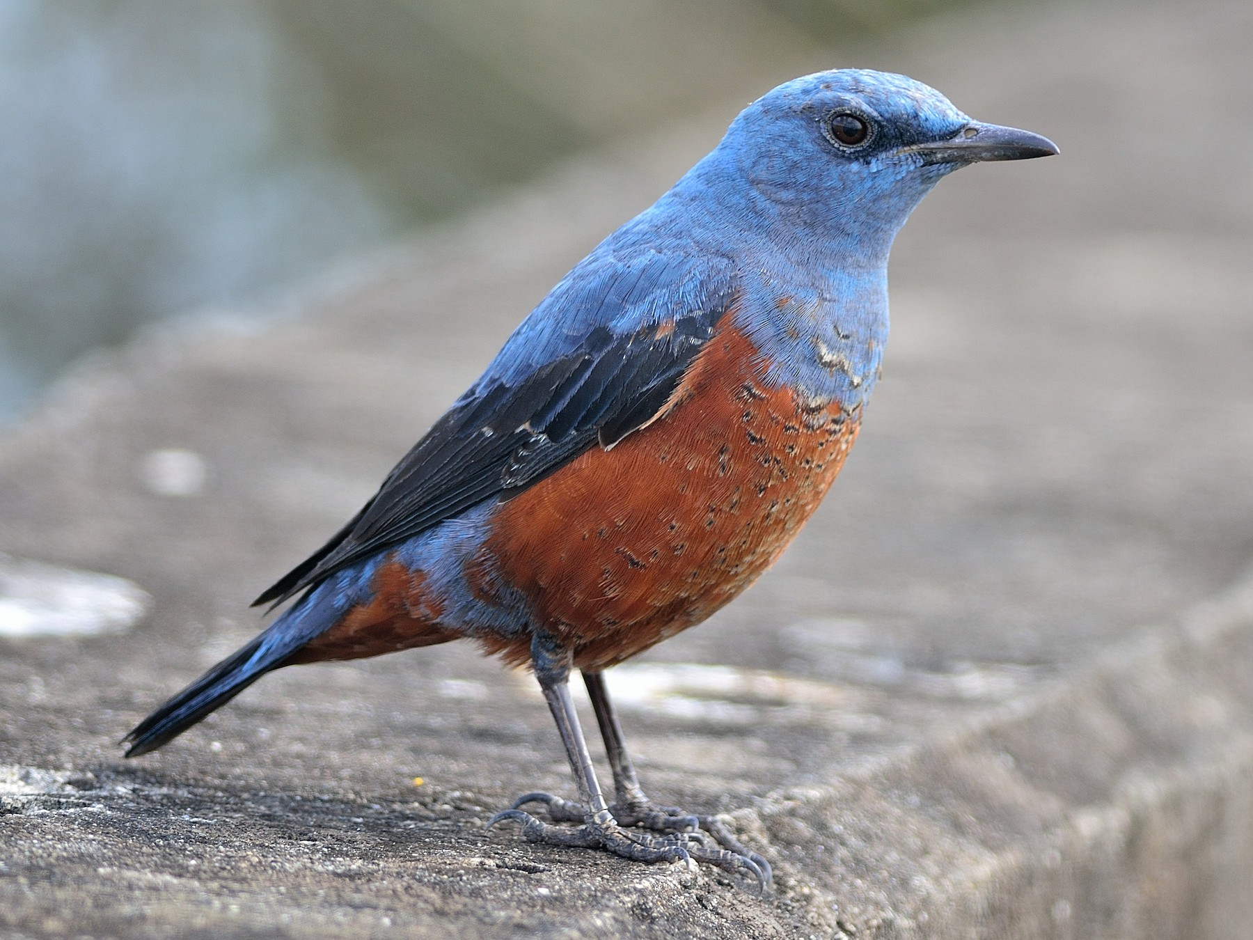Blue Rock-Thrush - Wbird Tsai