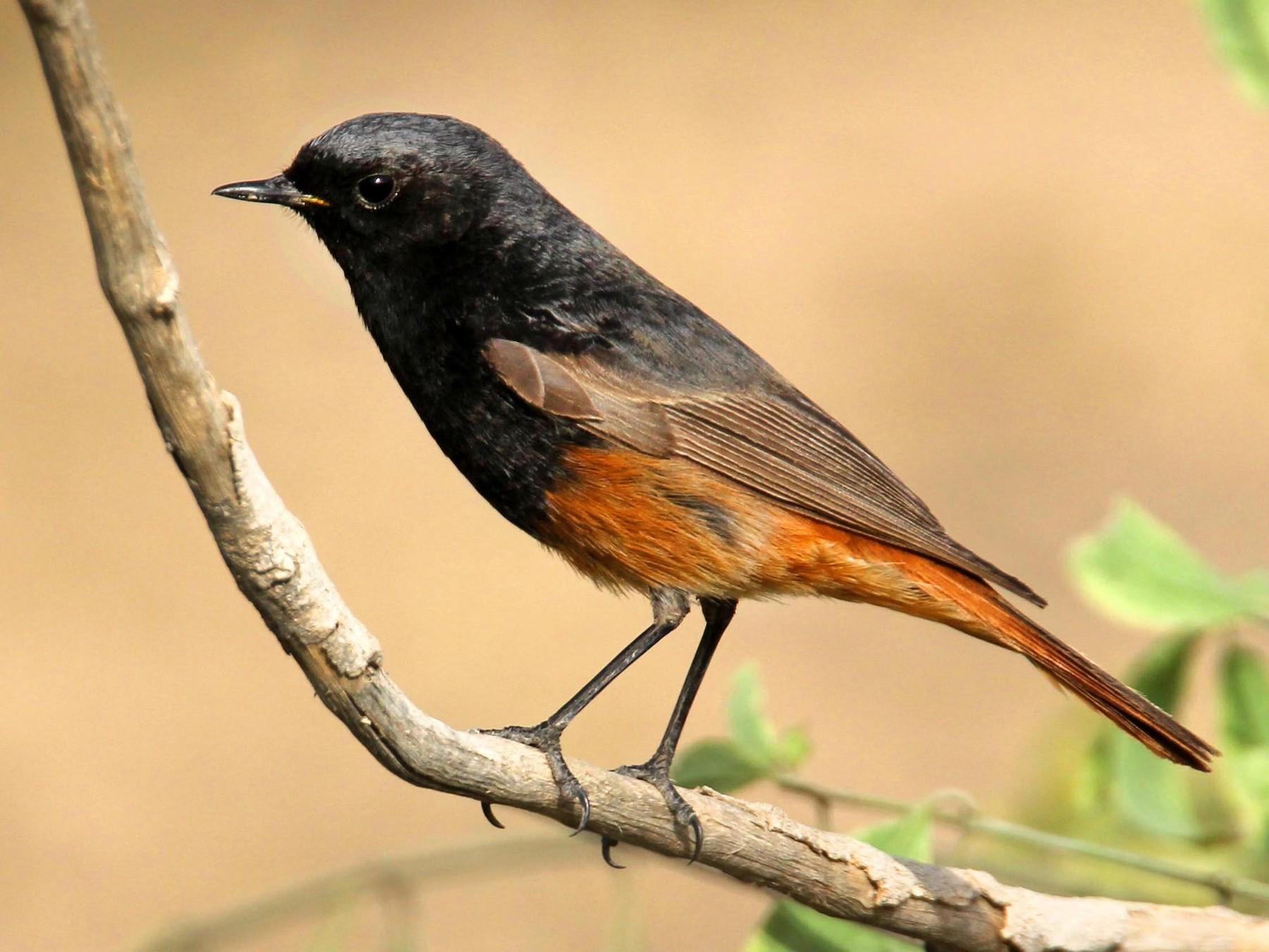 Black Redstart - Khalifa Al Dhaheri