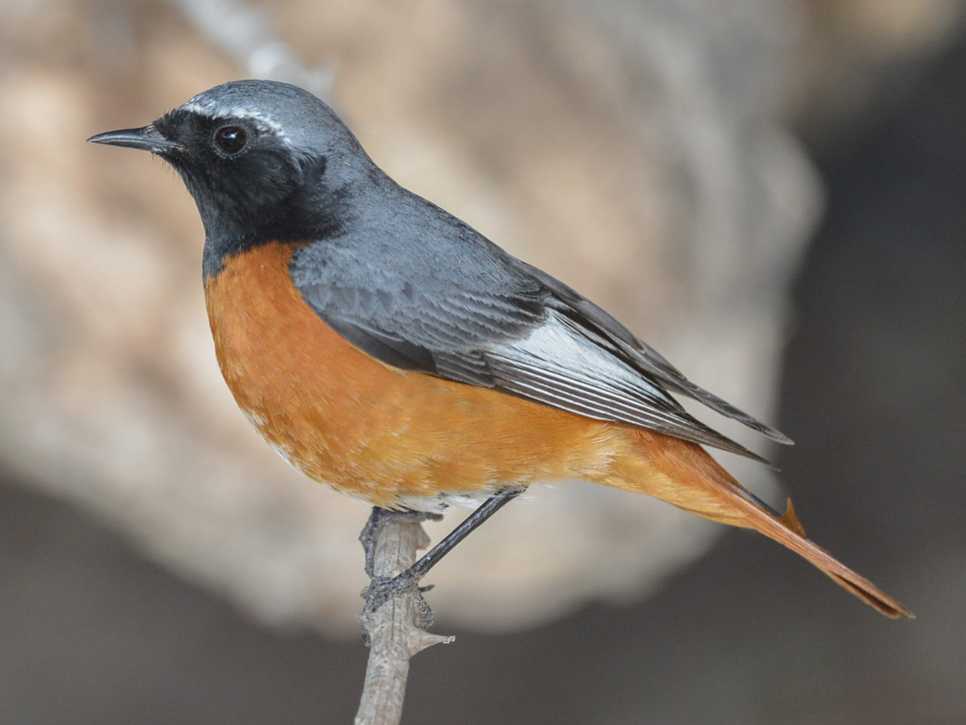 Common Redstart - Khalifa Al Dhaheri