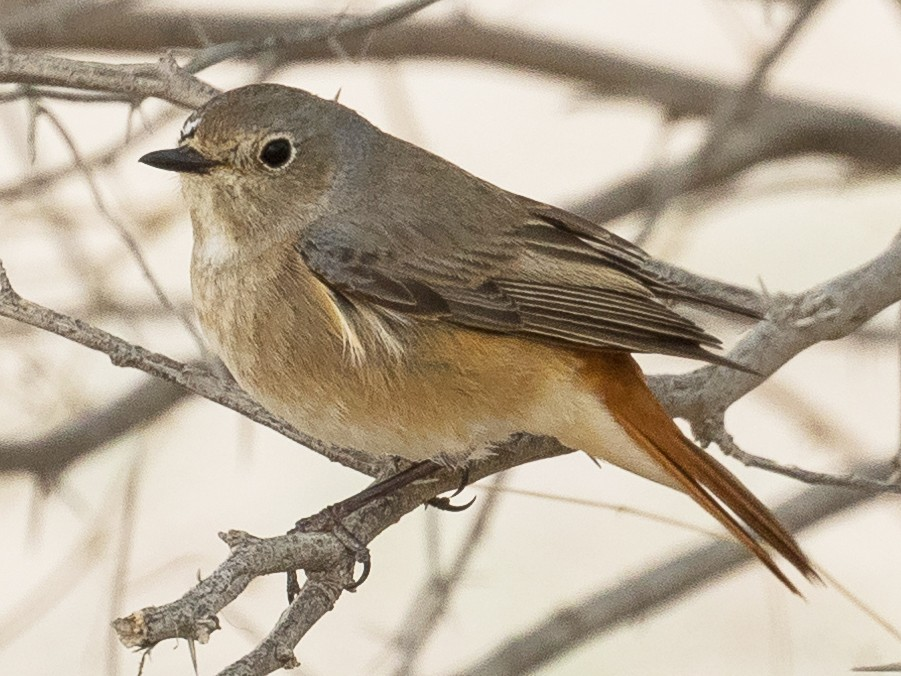 Common Redstart - Markus Craig
