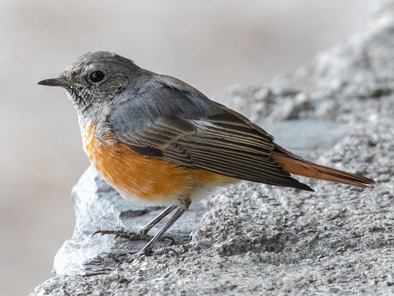 Common Redstart - Lutz Duerselen