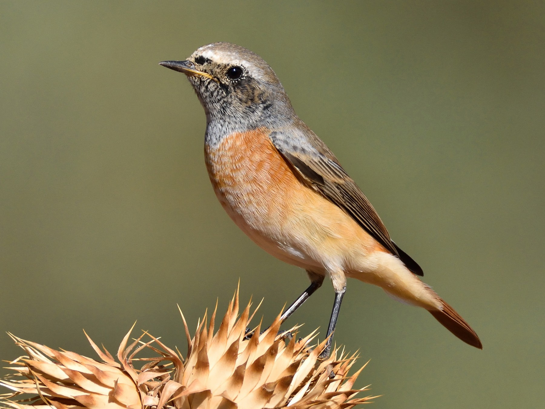 Common Redstart - Santiago Caballero Carrera