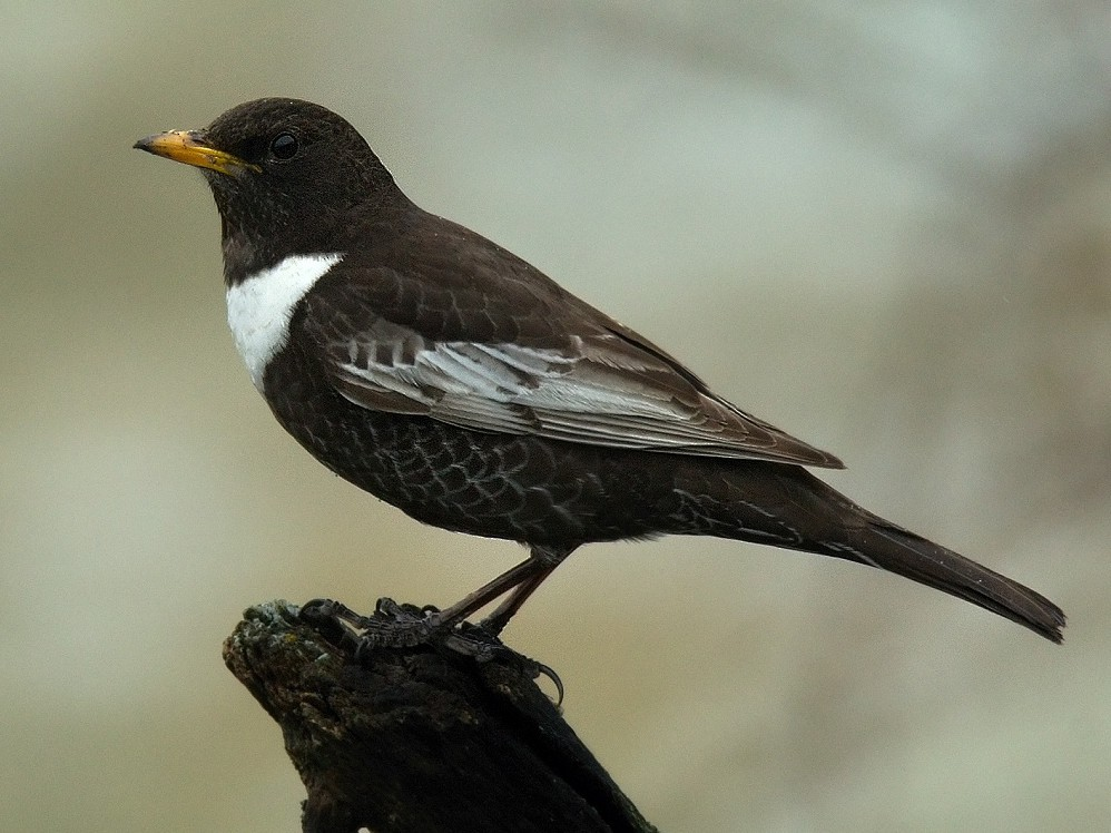 Ring Ouzel - Stanislav Harvančík