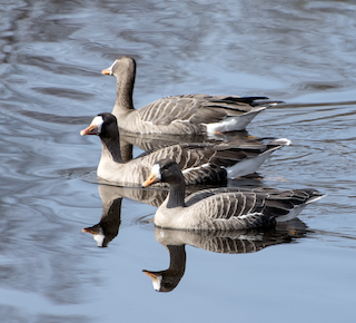 Greater White-fronted Goose, ML25801481