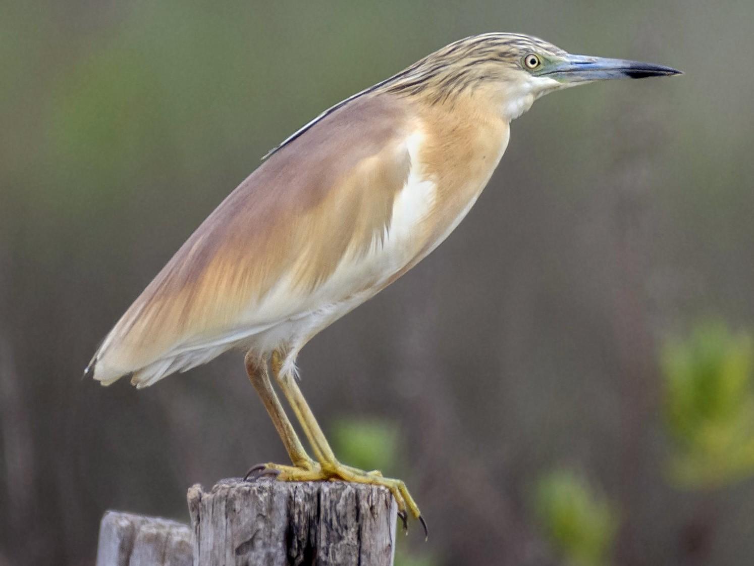 Squacco Heron - Al B.