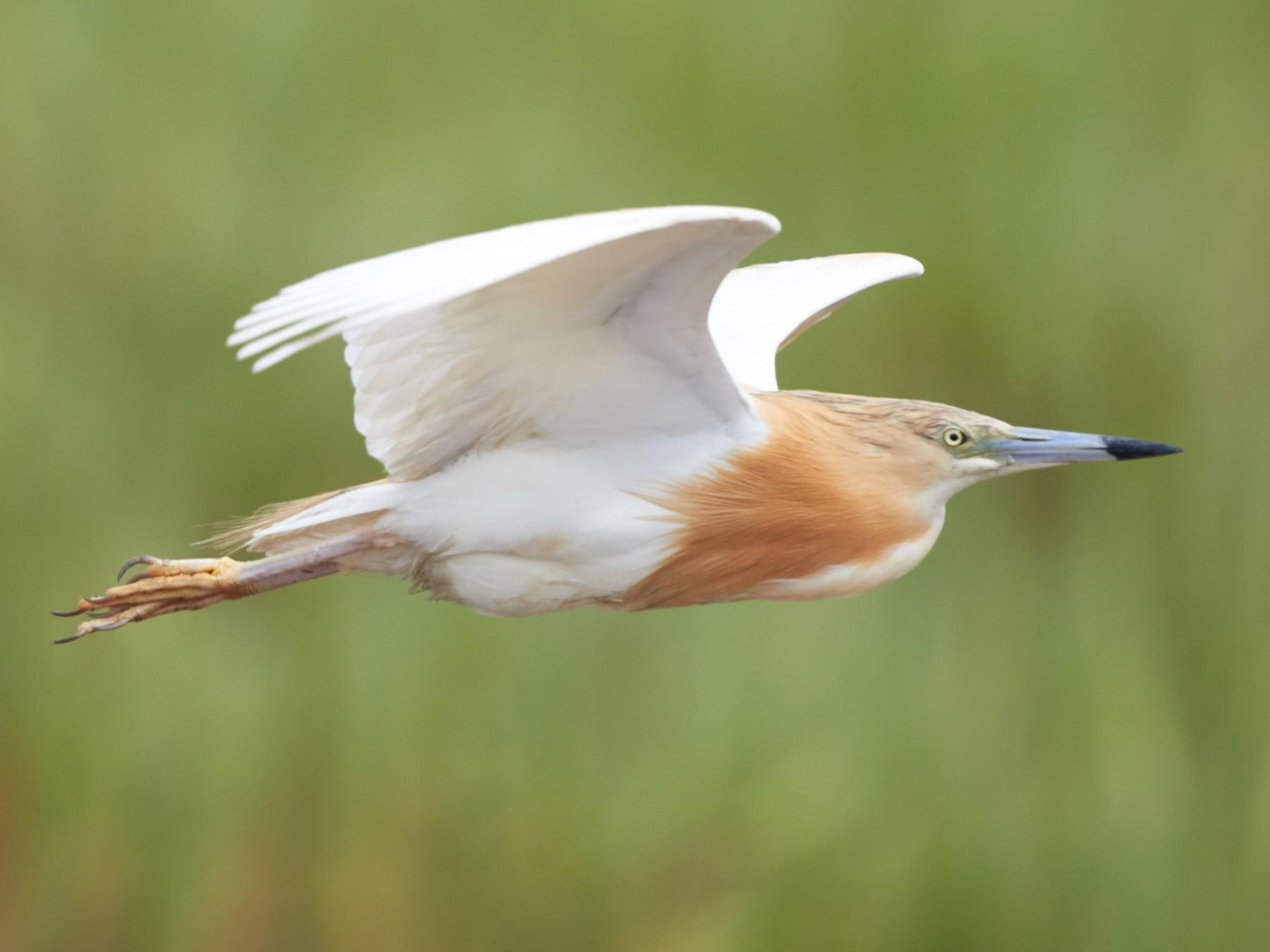 Squacco Heron - Magnus Grylle
