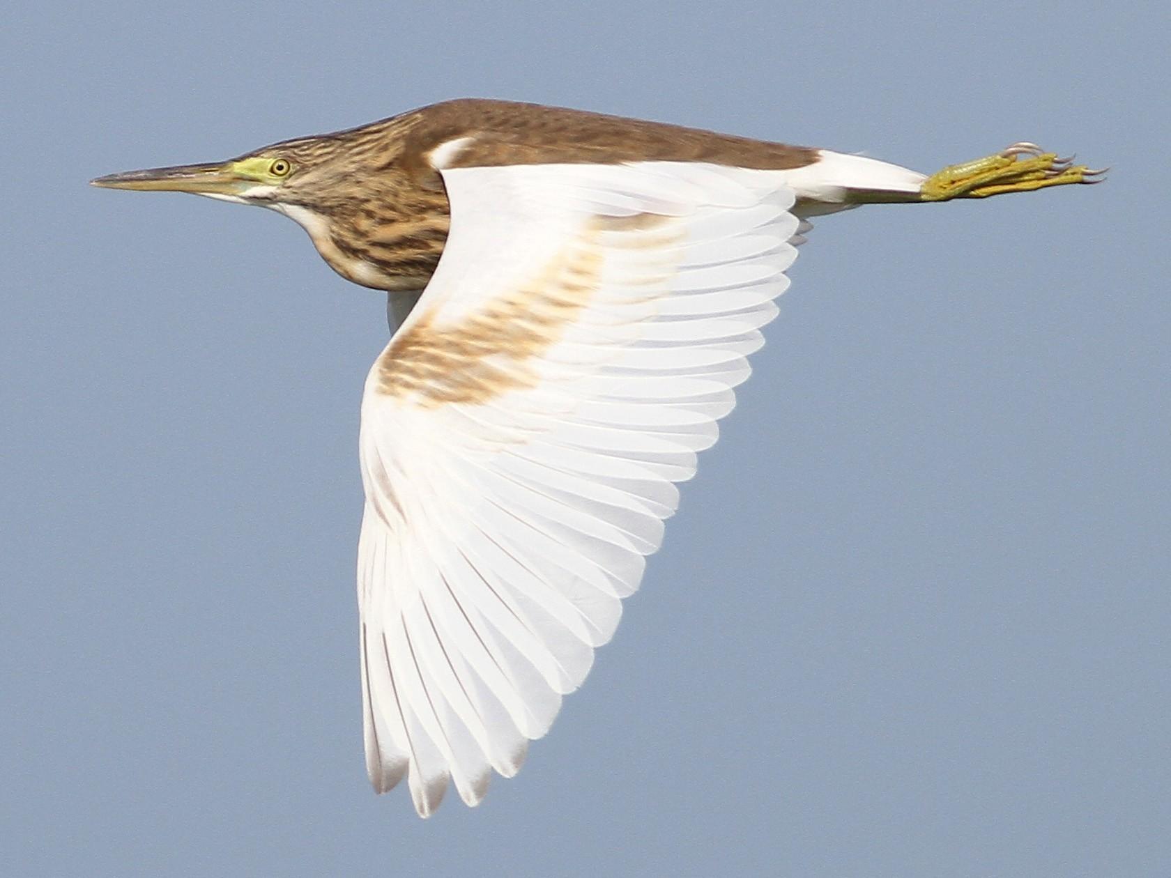 Squacco Heron - Elliot Montieth