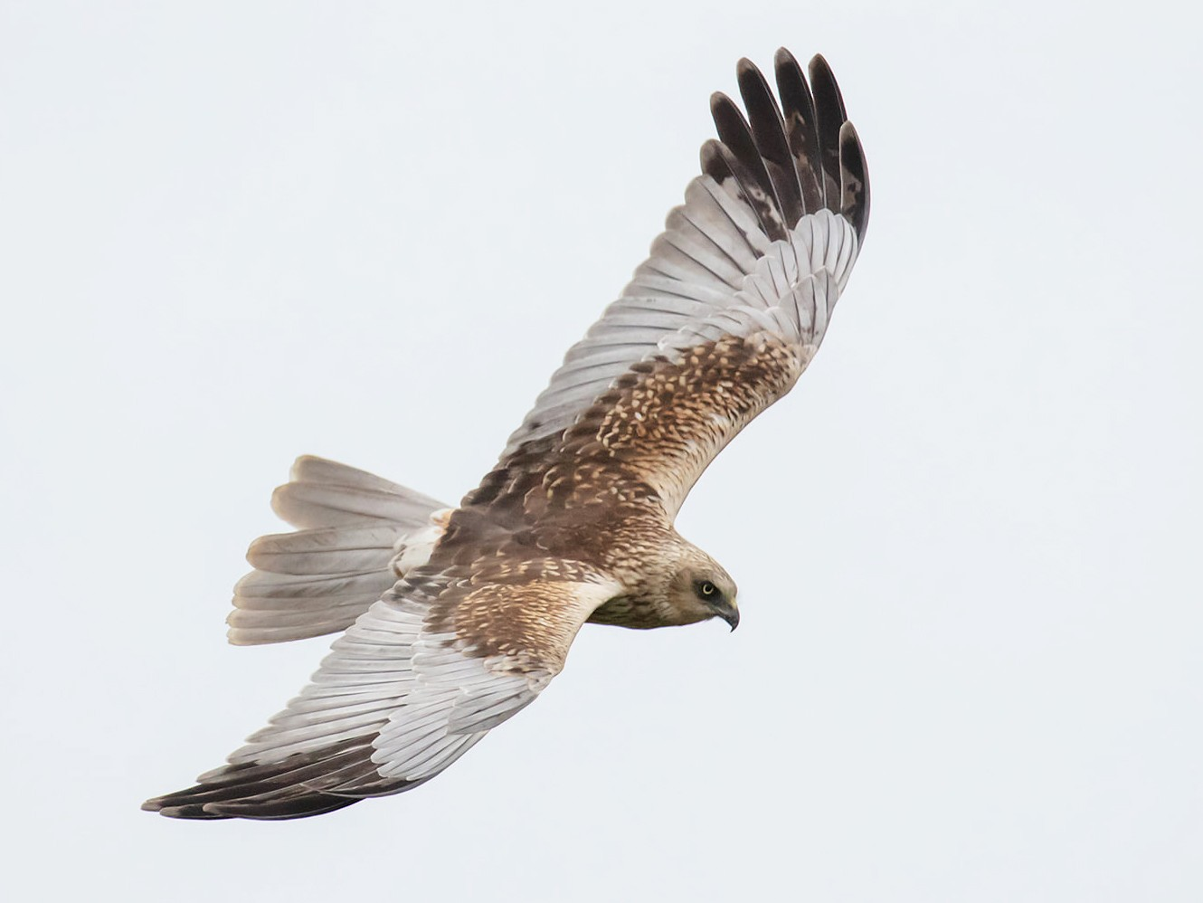 Eurasian Marsh-Harrier - CHUAN-CHENG WANG